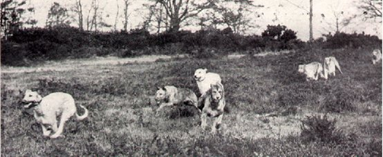 wolfhounds coursing