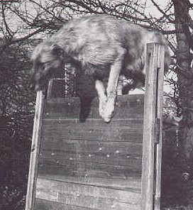 wolfhound going over scale jump