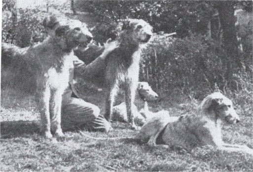 group of wolfhounds