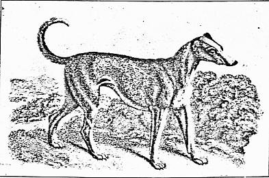 Howitt's Irish wolf-dog