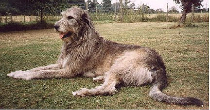 wolfhound bitch