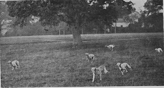 hounds running across the park