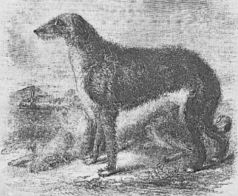 Irish Wolf-dog