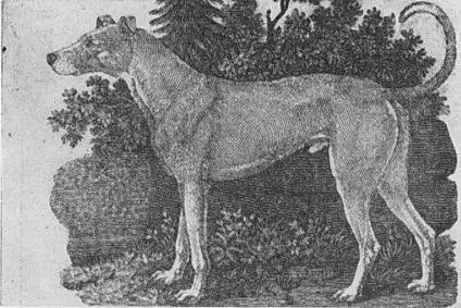 Bewick's Irish greyhound